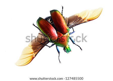 flying bug beetle,  Torynorrhina flammea isolated on white background - stock photo