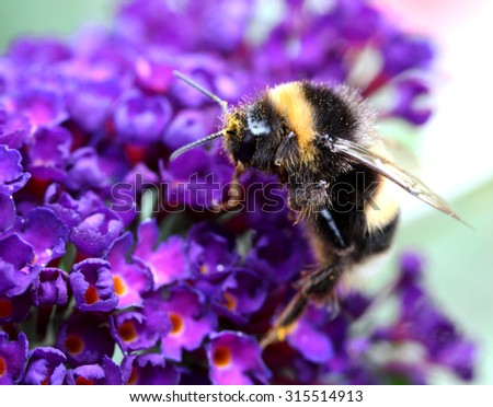 Flying bumblebee with a purple lupine