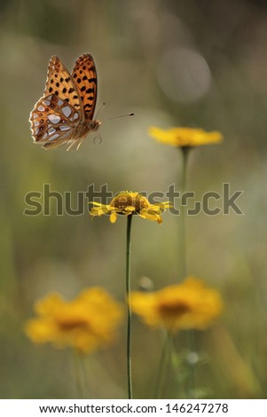 Flying butterfly - Issoria lathonia, Queen of Spain fritillary  - stock photo