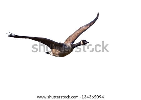 Flying Canada Goose Isolated on White - stock photo