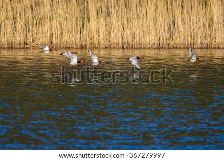 flying common pochard (Aythya ferina)