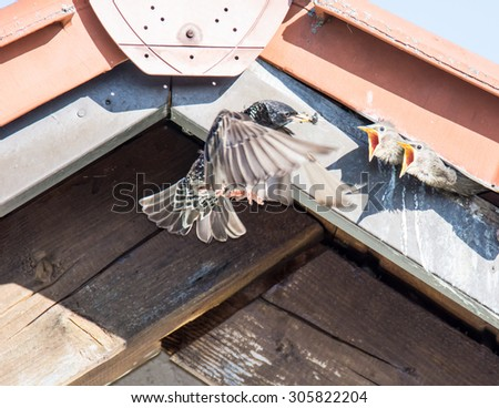 Flying Common Starling feeding babies that have shelter under the roof of a house - stock photo