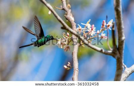 Flying Cuban Emerald Hummingbird (Chlorostilbon ricordii), Cienaga de Zapata, Cuba - stock photo