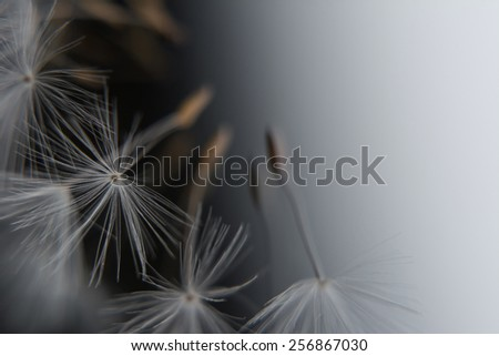 Flying dandelion seeds. Image with a place for text.  - stock photo