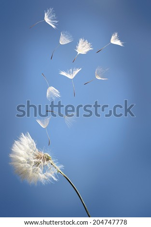 flying dandelion seeds on a blue background - stock photo