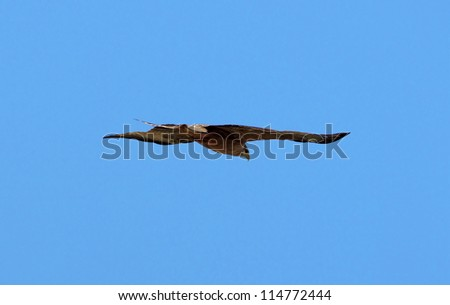 Flying eagle in the tanzanian Crater Ngorongoro National Park - stock photo