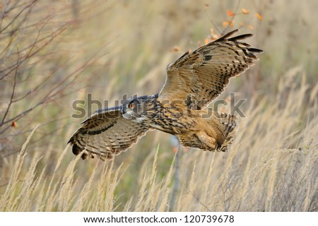 Flying Eurasian Eagle-Owl upon autumn land with branches in background - stock photo