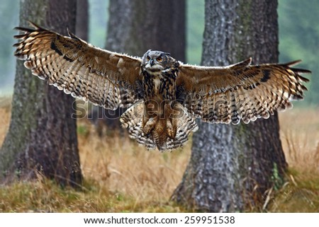 Flying Eurasian Eagle Owl with open wings in forest habitat with trees, wide angle lens photo  - stock photo