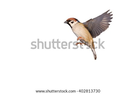 Flying Eurasian tree sparrow isolated on white (Passer montanus) - stock photo