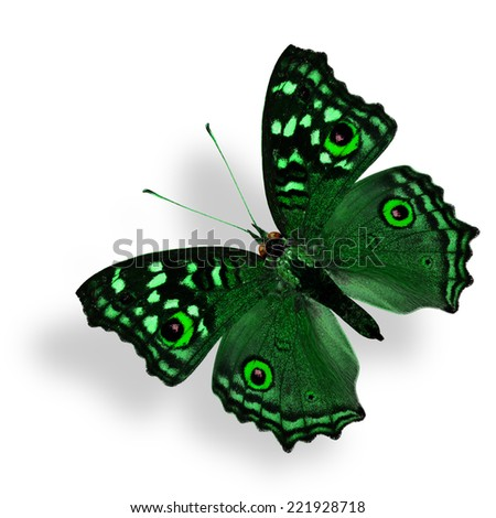 Flying Fancy Green Butterfly (Grey Pansy) isolated on white with soft shadow beneath - stock photo