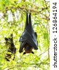 Flying fox - stock photo