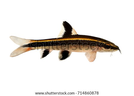 Fish eater stock images royalty free images vectors for Flying fox fish