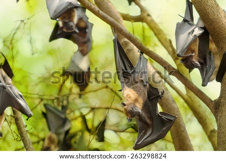 Flying foxes hanging on the tree - stock photo