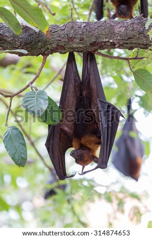 Flying foxes hanging on trees.