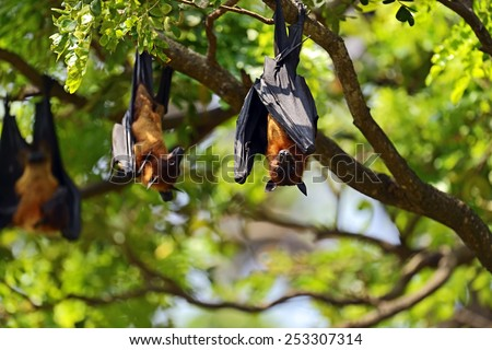 Flying foxes in the wild on the island of Sri Lanka - stock photo