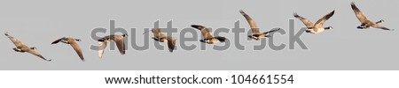 flying geese - stock photo