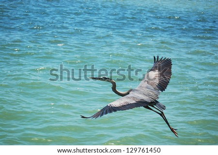 flying great blue heron - stock photo