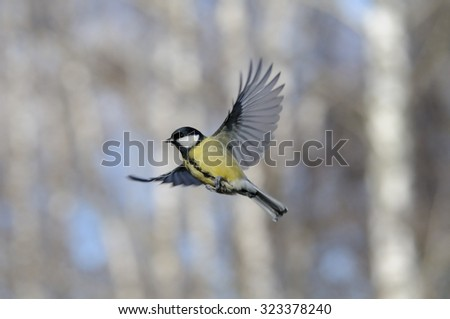Flying Great Tit (Parus major) in autumn forest. Moscow region, Russia - stock photo