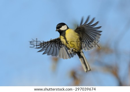 Flying Great Tit (Parus major) in autumn. Moscow region, Russia - stock photo
