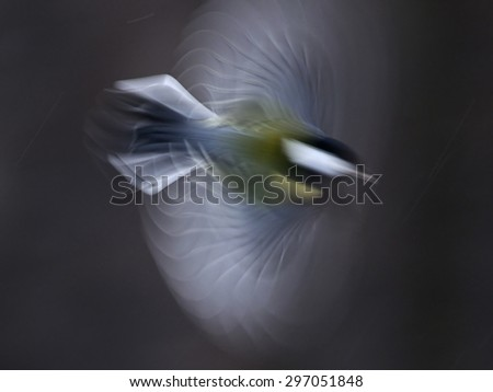 Flying Great Tit (Parus major) showing interesting optical effect at long exposure - stock photo