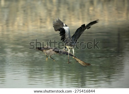 Flying Grey Herons territory fight - stock photo