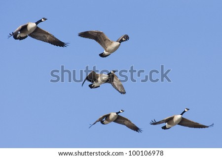Flying Group Of Geese - stock photo