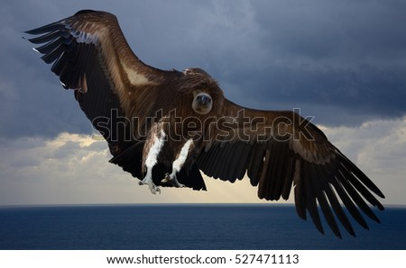 Flying gyps with huge wing span in the sky
