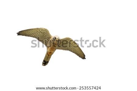 flying hawk isolated on white background - stock photo
