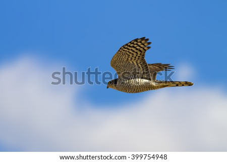 flying hawk Sparrowhawk - stock photo