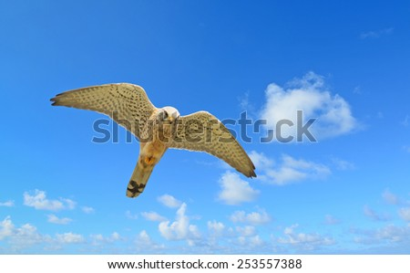 flying hawk under a blue sky with clouds - stock photo