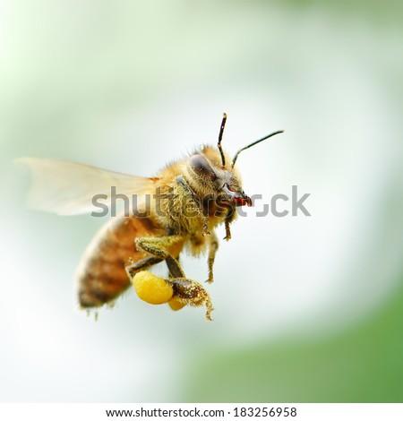 flying honey bee                                     - stock photo