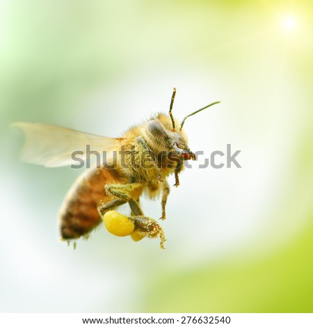 flying honey bee in sunlight - stock photo