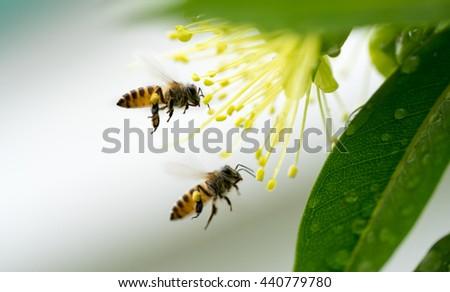 Flying honeybee collecting pollen at yellow flower. - stock photo