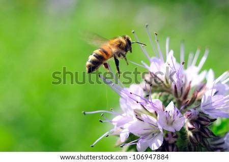 Flying honeybee near purple flower on the green background - stock photo