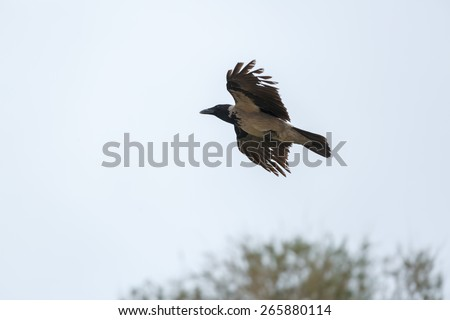 Flying hooded crow on sky background