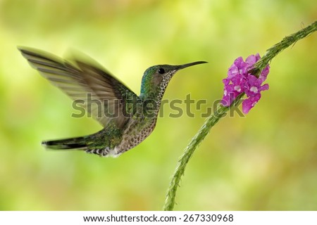 Flying hummingbird White-necked Jacobin (female) next pink red flower, Florisuga mellivora, from Rancho Naturalista, Costa Rica - stock photo