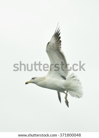 Flying Juvenile Kelp gull (Larus dominicanus), also known as the Dominican gull and Black Backed Kelp Gull. White Background