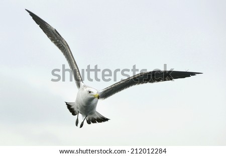 Flying kelp gull (Larus dominicanus), also known as the Dominican gul and Black Backed Kelp Gull. False Bay, South Africa  - stock photo