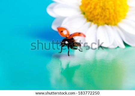 Flying ladybug and camomile flower summer. - stock photo