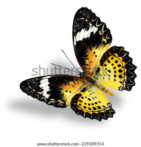 Flying Leopard Lacewing Butterfly (female) on white background with soft shadow - stock photo