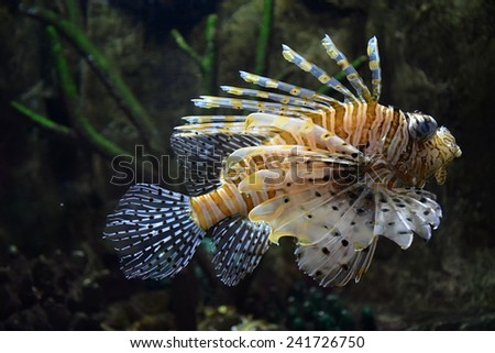 Flying lionfish (Pterois volitans) underwater - stock photo