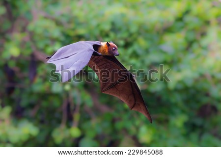 Flying Lyle's flying fox (Pteropus lylei) with green background in nature of Thailand  - stock photo