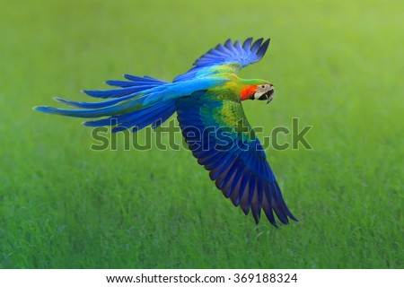 flying macaw, beautiful bird - stock photo