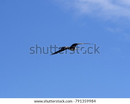 Flying Magnificent frigatebird, Fregata magnificens, North Seymour, Galapagos, Ecuador