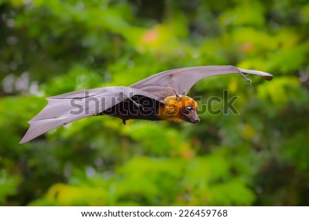 Flying male Lyle's flying fox (Pteropus lylei) with green background in nature of Thailand - stock photo