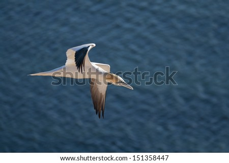 Flying Northern Gannet with beatiful blue see behind