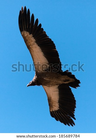 Flying Old World Vulture - stock photo