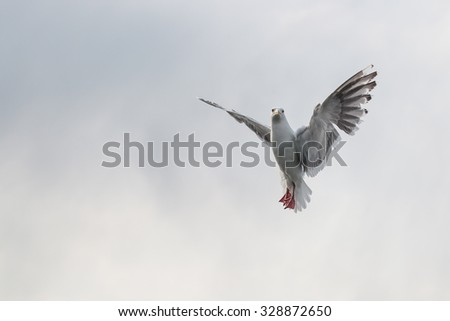 Flying One seagull isolated on the white sky as background.