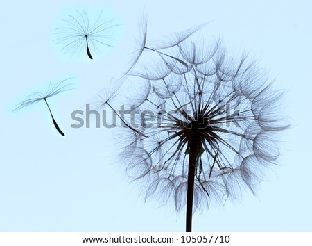 Flying parachutes from dandelion - stock photo
