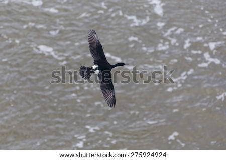 flying Pelagic Cormorant in Vancouver BC Canada  - stock photo